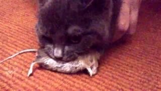 Шотландский котенок словил мышку