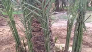 طريقة توفير المياه لري النخيل
