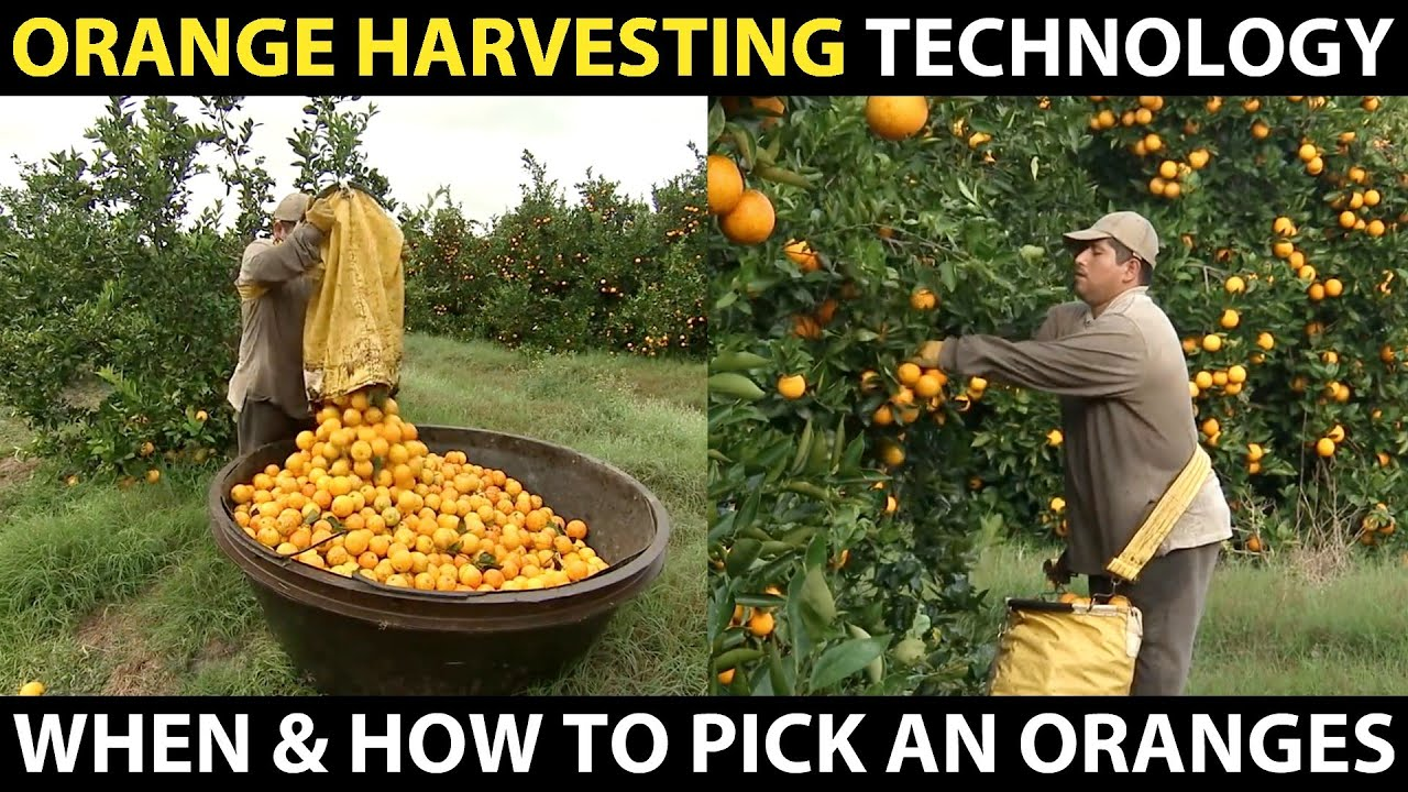 ORANGE HARVESTING | Learn When And How To Pick An Oranges | Amazing Agriculture Cultivation