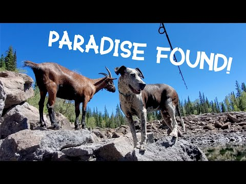 Wilderness Paradise! Backpacking & Wild Camping With My Menagerie Of Pack Goats & Dogs Trout Fishing