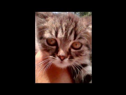 У кота зарастают глаза, у котенка слезятся глаза, как лечить конъюнктивит у кошек, покраснели веки