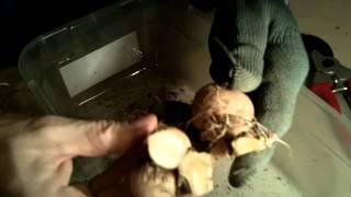 How to divide dahlia tubers grown from cuttings