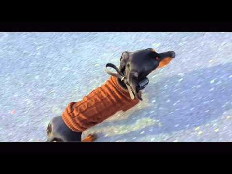 2-Yead Old Dachshund, Otis!  Electronic Collar Training For Small Dogs   Small Dogs Off Leash