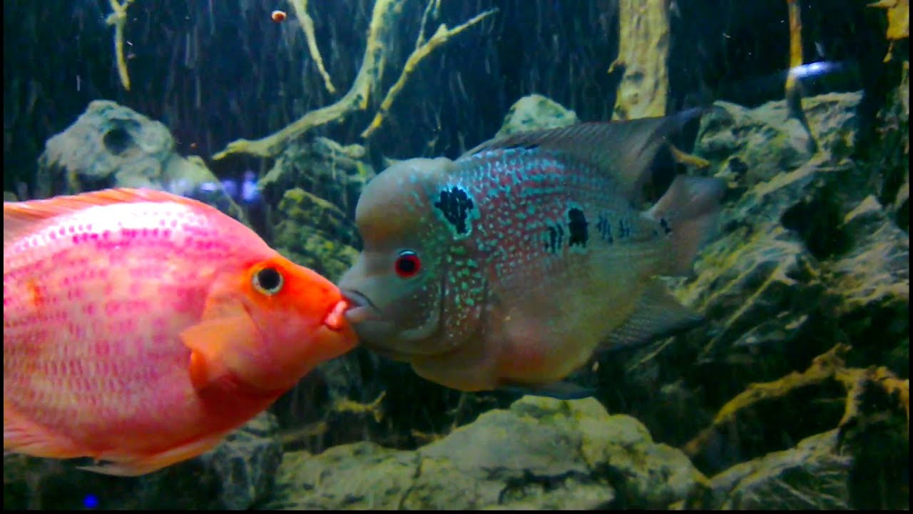 Flower horn vs parrot fish youtube for Pictures of parrot fish