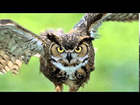 owl sound effects - efek suara burung hantu