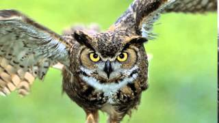 Gambar cover owl sound effects - efek suara burung hantu