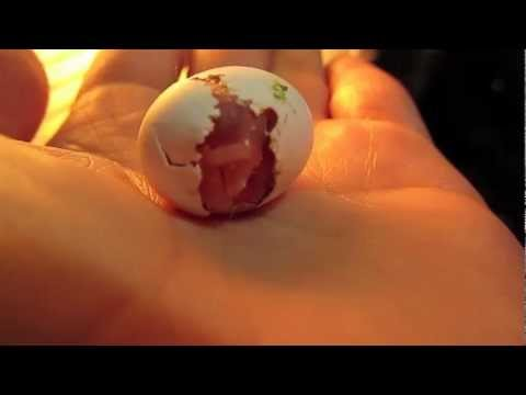 Hatching Lovebird Baby