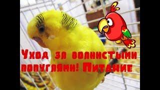 ВОЛНИСТЫЕ ПОПУГАИ! Уход за попугаями! Питание! Уход и содержание волнистых попугаев. Часть 3