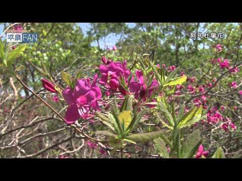 繁體中文介紹平泉之 11五葉山杜鵑花觀賞會