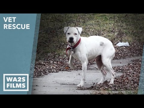 Starving Homeless Hurt Pit Bull SAVED from Detroit St Ep 6 VET Rescue - Animal Aid Unlimited for ALL