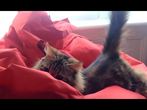 'Cats vs. Bean Bag Chairs Compilation' || CFS