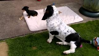 Basset Hound Playing With Dachshund Puppy