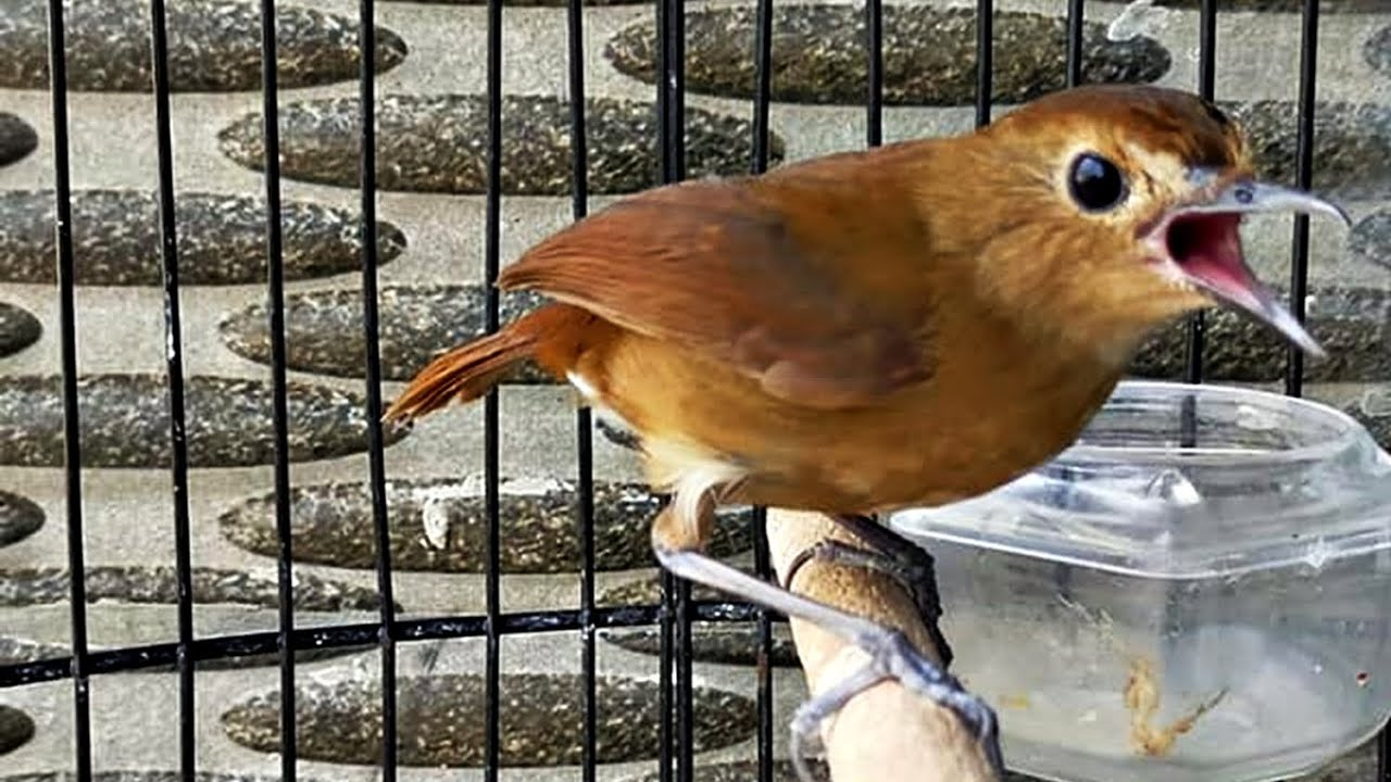 Suara Kicau Burung Jongkangan Coklat Gacor Youtube