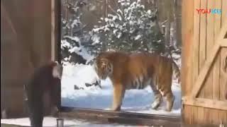 Огромный Амурский тигр -  ( Весом 334 кг)