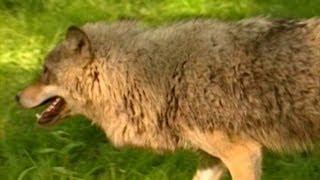 Живая энциклопедия - Волки