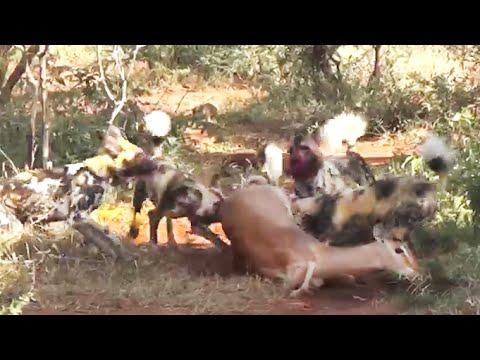 Wild Dogs Eat Impala Alive