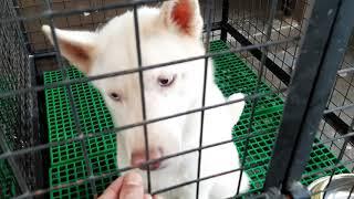 Woofcam l Dahil maulan ang panahon l Training with SIberian Huskies