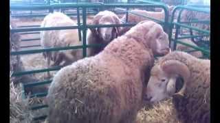 les race ovine au maroc