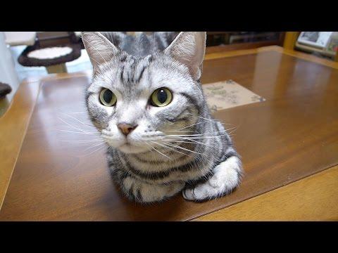 おやつ食べる?の言葉に喜びを爆発させる猫