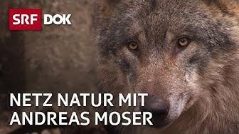 Die vielen Wölfe der Schweiz | NETZ NATUR mit Andreas Moser | Doku | SRF DOK