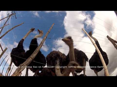 Ostriches In South Africa-The High Cost Of Cheap Gas- Sneak Preview Footage