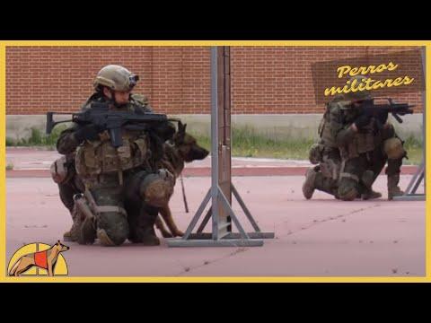 Impresionante ejercicio prctico con perros militares: ataque y deteccin de explosivos