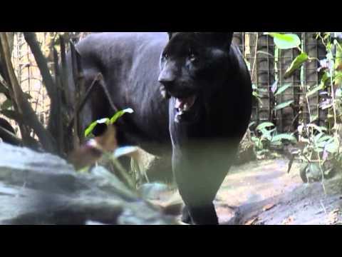 Black Jaguar (Lucky Boy) @ Belize Zoo