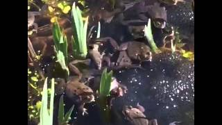 Live Sex Show! with the garden's frogs