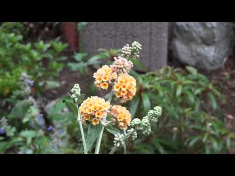 BUDDLEJA SUNGOLD ( Schmetterlings Flieder- Gelb) MAH08832