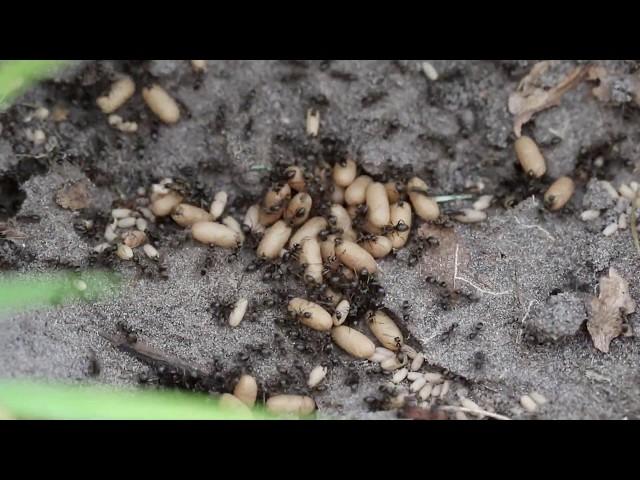 1 minuut natuur: mieren