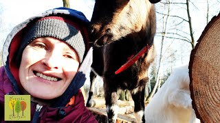 #21 Początki hodowli kóz-kobieta na gospodarstwie-kury z wolnego wybiegu -przeprowadzka na wieś