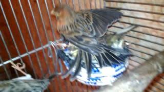 Мои птицы .Амадины , Канарейки и Кореллы .