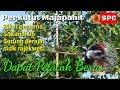 Pelatuk Beras Hasil Latih Pikat Perkutut  Mp3 - Mp4 Download