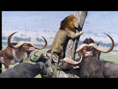 Herd Buffalo Chase Lion Run On Tree