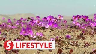 It's bloom time in Chile's 'flowering desert'