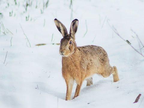 Tavşan Avı 2015 Karda Kopayla