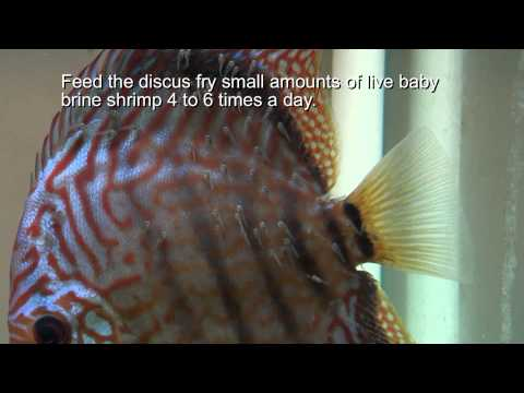 Discus Fish Breeding Tip - Stopping Discus Pairs From Eating Fry
