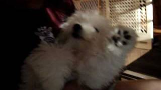 Maltese Puppy Video | Janie Grace