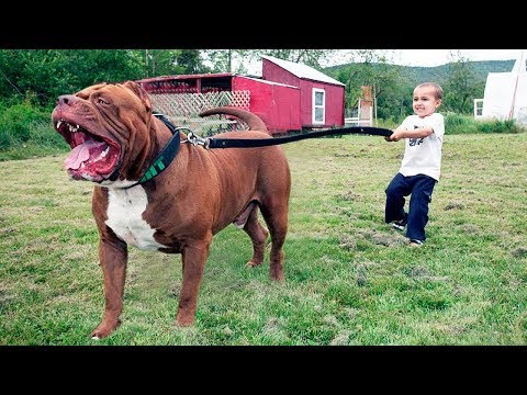 The BIGGEST PITBULL In The World