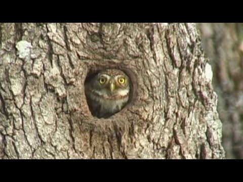 northern pygmy owl eating