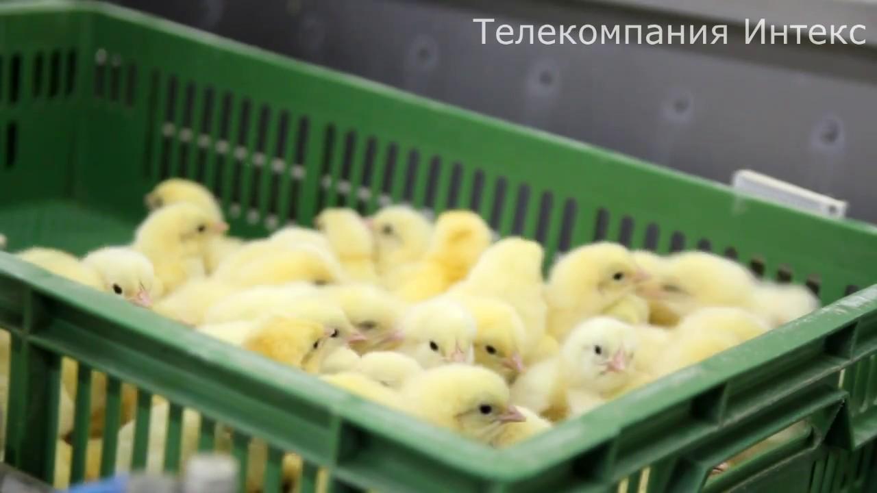 Конвейер с цыплятами фольксваген транспортер т5 замена ремня генератора