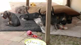 Schnauzer Pups Bijna 7 Weken Oud