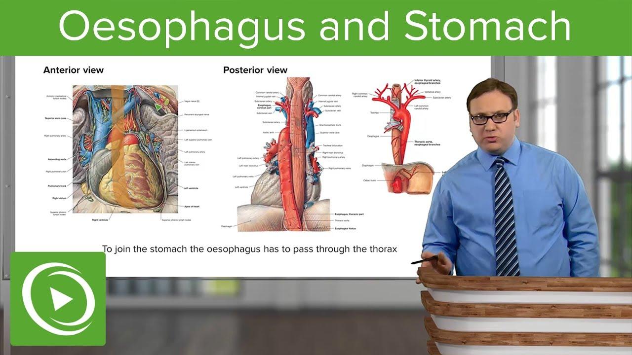 Oesophagus & Stomach – Abdomen | Lecturio