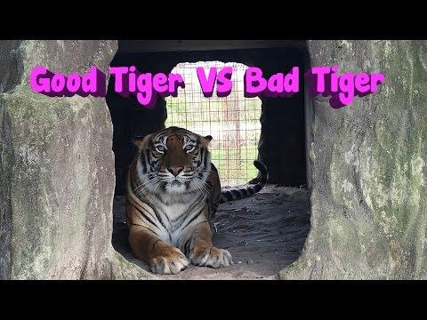 Nice Tiger VS Angry Tiger