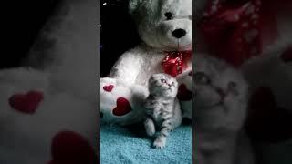 Вислоухие котята Краснодар.
