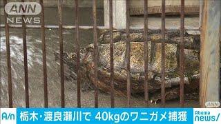 栃木で40キロのワニガメ捕獲 「まるで恐竜・・・」(19/06/02)
