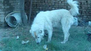 Afghan Kuchi / Koochie Dog