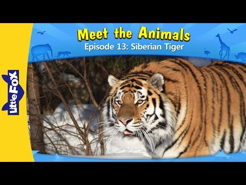 Meet the Animals 13: Siberian Tiger | Level 2 | By Little Fox