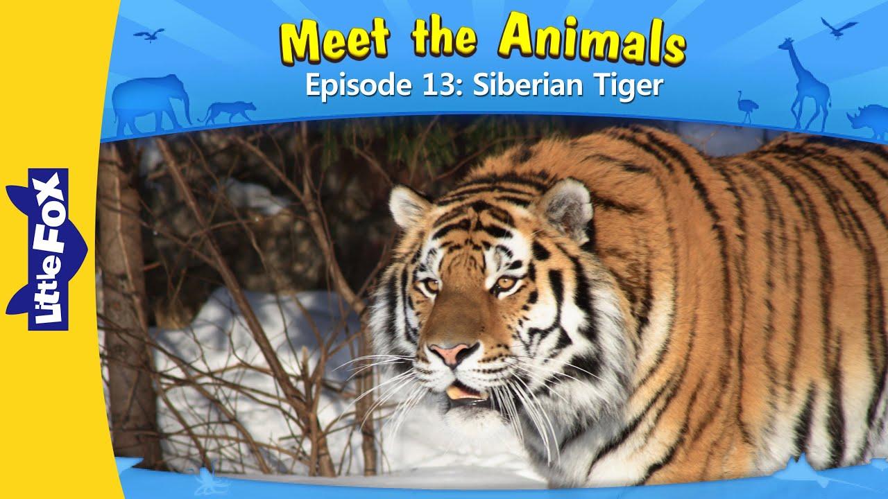 animals tiger meet siberian fox wild animated stories