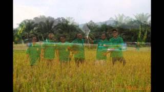 Panen Raya Padi Sawah Aik Gede 2015 Desa Kembiri Kecamatan Membalong - Maraton
